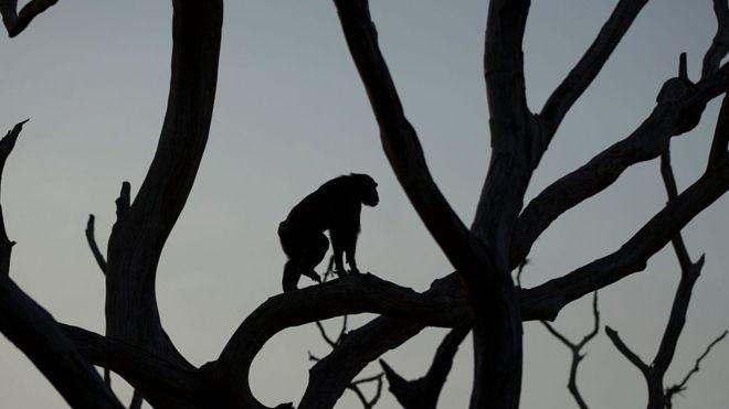 Guerra macacos 01